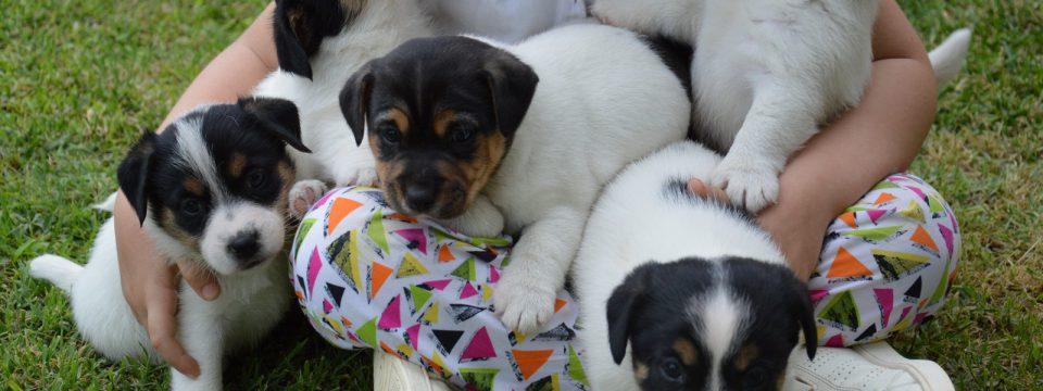 Cuccioli di Jack Russell Terrier disponibili